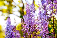 (Alin B.) Tags: alinbrotea nature spring april liliac lilac flower scent