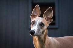 Garden Shot. (AdamDawsonPhotography) Tags: dog whippet nikond750 puppy garden beach outdoors pet animal nature cute