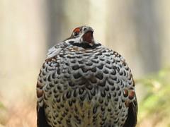 Hazel Grouse ♂ (Tetrastes bonasia) (eerokiuru) Tags: hazelgrouse tetrastesbonasia haselhuhn laanepüü bird p900 nikoncoolpixp900