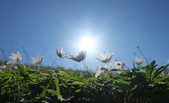 Frühlingsleuchten (Mariandl48) Tags: buschwindröschen sonnenuntergang sommersgut wenigzell steiermark austria