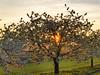 Cherry blossom at Walberla 2018-3 (Bernhard_Thum) Tags: bernhardthum thum h6d100 hasselblad cherryblossom nature franken sunset light hc22100