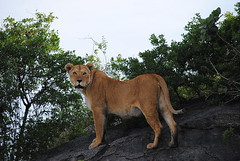 Масайский лев, Panthera leo, Masai Lion (Oleg Nomad) Tags: масайскийлев pantheraleo masailion африка танзания серенгети животные природа сафари africa tanzania serengeti nature animals safari travel