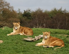 Sisters enjoying the afternoon sun (joannekerry) Tags: lion africanlion lioness bigcats cats yorkshirewildlifepark wildlife nature canon