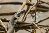 Ringelnatter (Natrix natrix) (WOB-WW 29) Tags: ringelnatter natrixnatrix wasser