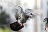 uk 2G6A9865 (uday khatri photography) Tags: udaykhatriphotography art udaykhatri pigeon birds beautiful flying small india bird wildlife abstract amazing ahmedabad animal evening landscapes love lighte life light landscape indian city