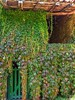 ASTURIAS (toyaguerrero) Tags: asturies spain nature naturaleza countryside architecture arquitectura arquitecturapopular ivy enredadera piloña espinareu