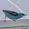 In my window - Saí-Azul - Macho / Blue Dacnis - Male (Wladimir Lopes) Tags: ave pássaro bird saíazul bluedacnis dacniscayana