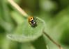 112/365 Earth Day 2018 (Helen Orozco) Tags: 112365 earthday quote 2018365 mygarden ladybird beetle
