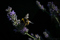 bumblebee (rich lewis) Tags: bumblebee bombushypnorum macro macrophotography nature richlewis