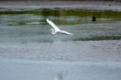 the chase (long.fanger) Tags: blackwaternatiionalwildliferefuge cambridge maryland blackbird greatwhiteegret