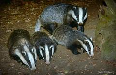 Badger family - July 2018 - Buckinghamshire (Alan Woodgate) Tags: wild badger cubs family uk woodland meles