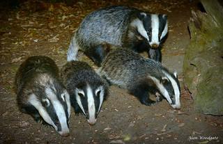 Badgers (Meles meles)