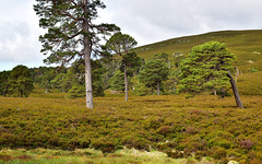 Highlands 4 (orientalizing) Tags: cairngorms desktop featured highlands landscape marlodgeestate nationalpark scotland