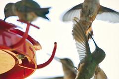 Hummingbirds at Tererro DSC_3142 (garycascio) Tags: hummingbirds woodpecker lewisswoodpecker tererronewmexico tererro newmexico featheredfriends birdsofnewmexico southwest southwestbirds audubon