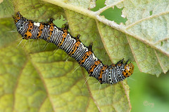 eight-spotted forester (crgillette77) Tags: pennsylvania bradfordcounty caterpillar eightspottedforester alypiaoctomaculata grape