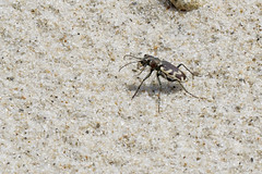 Big Sand Standing (brucetopher) Tags: bigsandtigerbeetle bigsand big sand tiger beetle cicindela formosa cicindelaformosa tigerbeetle beach beachtigerbeetle insect 6 six legs sixlegs bug critter creature tiny beauty beautiful pattern elytra maculations shell camouflage fast elusive animal outdoor