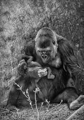 Ngozi and Charlie (Vanessa wuz Here) Tags: 100mm 7dwf bw torontozoo toronto westernlowlandgorilla gorilla africa copyrightvanessabartosek
