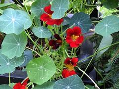 Kapuzinerkresse rot (Sophia-Fatima) Tags: mygarden meingarten naturgarten gardening kapuzinerkresse