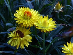 Golden Everlasting (fotomie2009) Tags: flower fiore flora yellow fioredicarta strawflower xerochrysum bracteatum