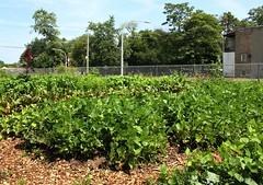 Earnest Earth (Brule Laker) Tags: chicago illinois farms urbanfarms eastgarfieldpark westside csa communitysupportedagriculture