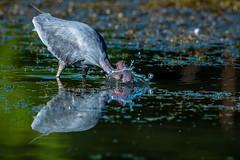 Snorkeling (shufisher) Tags: shorebird littleblueheron texas beds drying reflection trinity bird fishing vcdb river