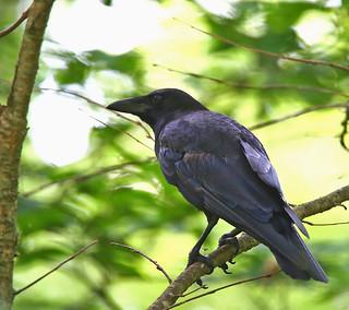 American-Crow-42w