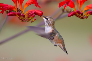Immature Rufous hummingbird.