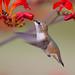 Immature Rufous hummingbird. (Rita Ivanauskas) Tags: hummingbird rufous wildlife birdsofbc summer