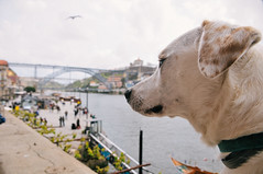 Ice the Dog watching seagulls in Ribeira (Gail at Large | Image Legacy) Tags: 2018 icethedog portugal ribeira gailatlargecom