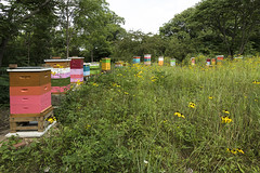 Apiary_July 2018 (Thomas Muir) Tags: tommuir perrysburg ohio woodcounty apismellifera apiary queen honeybee colorful beeswax comb propolis beeyard outdoor insect flow super honey boxes outside prairie ratibidapinnata grayheaded coneflower wildflower flower grass bloom nectar pollen summer midwest heartland hive meadow field worker drone