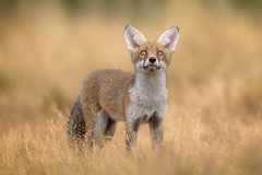 Red Fox Cub (Vulpes vulpes) (benstaceyphotography) Tags: renardroux wildlife nature eyes watching ears fox summer nikonuk mammal