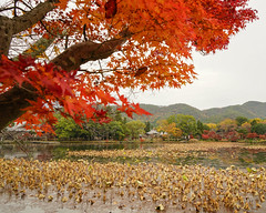 Lake scenery at autumn in Kyoto, Japan (phuong.sg@gmail.com) Tags: asian beautiful beauty blue color concept cultural day destinations ecological fall fantastically flood forest green highwater japan korea kyoto lake landmark landscape lotus made mapletree multicolored nature noon northern orange osaka outdoors park people red reflection sky smooth sunny tokyo tourism travel trees woods yellow