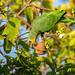 Orange-winged Amazon (Amazona amazonica) (Kester Clarke) Tags: amazon amazonaamazonica birds botanicalgardens georgetown guyana orangewingedamazon parrots southamerica