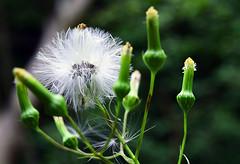 Wish (jna.rose) Tags: wish plant nature green plantlife closeup dof depthoffield nikon d5300 photography white outdoor naturallight natural