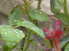 The diamonds of the rain!!  P1050827 (amalia_mar) Tags: thediamondsoftherain 7dwf leaves plant drops raindrops closeup sundaylights