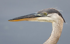 Portrait of a Juvenile (tresed47) Tags: 2018 201807jul 20180727bombayhookbirds birds bombayhook canon7dmkii content delaware folder greatblueheron heron july peterscamera petersphotos places season summer takenby us
