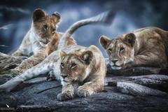 Lionesses On Top Of A Kopje (pbmultimedia5) Tags: kopje serengeti national park tanzania lion lioness pride animal wildlife feline rock pbmultimedia