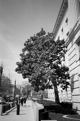 Single Tree (Andrew H Wagner | AHWagner Photo) Tags: olympusxa2 olympus xa2 pointandshoot pointshoot 35mm film bw blackandwhite blackwhite monochrome monochromatic thefindlab grain grainy filmgrain analog filmshooters find filmphotography analogfilm dc washingtondc districtofcolumbia cinestillbwxx cinestill bwxx doublex eastmandoublex streetphotography street candidphotography candid tree nature building