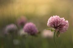 armonia rosa (anna barbi) Tags: pentacon riale rosa sfocato fioretrifoglio