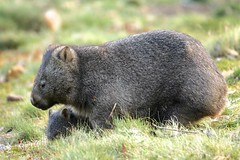 Common Wombat Mother and Joey (Caleb McElrea) Tags: cradlemountain unesco worldheritagesite tasmaniansouthwestwilderness tasmania wilderness cradlemountainlakestclairnationalpark commonwombat