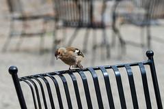 Curious Chaffinch  [Explore] (Eskling) Tags: chaffinch fringilla coelebs birds chair