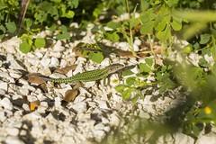 PVA_9984W Podarcis vaucheri. Grazalema spain (Priscilla (still more then 3yrs of photos to go th) Tags: podarcisvaucheri grazalemaspain podarcis lacertidae lizardsofspain reptilesofeurope herpingspain herpingeurope