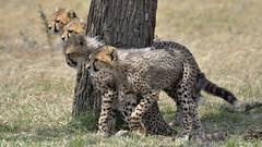 On your marks (John Kok) Tags: mara marakempinski july2018 cheetah acinonyxjubatus nikkor20050056evr2