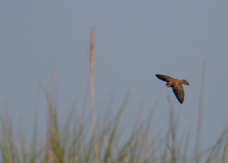 Northern Rough-winged Swallow_0744