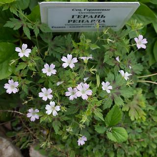 Geranium renardii (Geraniaceae)