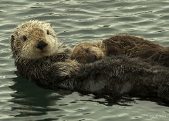 Sea Otter with Pup (tiodano) Tags: seaotterwithpup seaotter pup monterey cute