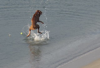 Dog jumping from the water sea at the Anquines Beach.