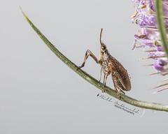 Partridge Bug (Bill McDonald 2016) Tags: planthopper hopper bugs insect tiny billmcdonald closeup macro canon critter leaf flower july 2018 ontario canada wwwtekfxca