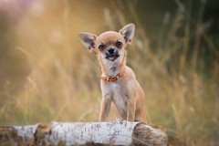 Peanut (Christina Draper) Tags: puppy chihuahua dog hound dogphotography pet