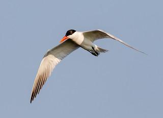 Caspian Tern Fishing